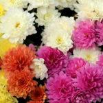 楽屋花に菊を入れたいけれど縁起が悪いの?
