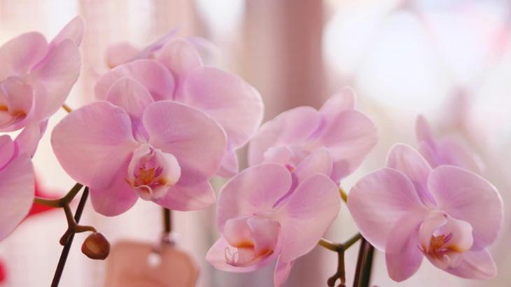 【胡蝶蘭のマナー】お花のギフトとしての胡蝶蘭の意味やマナーを紹介