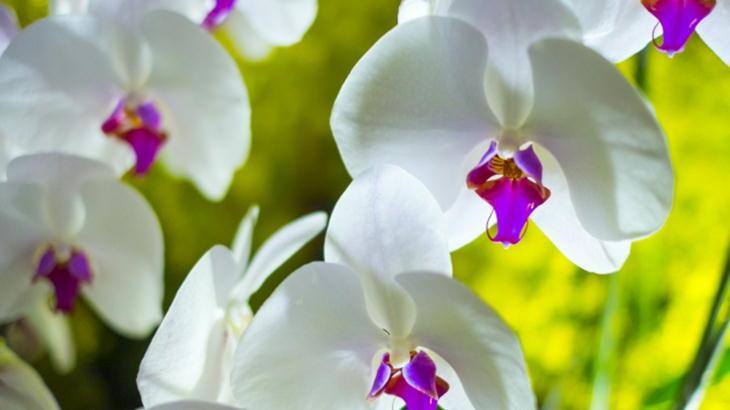 胡蝶蘭と呼ばれるお花の種類について知りたい!特徴と意味について