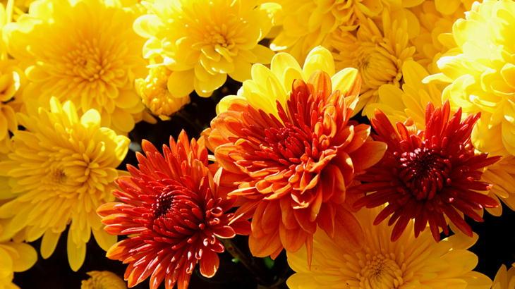 菊のお花ギフトを贈りたい|シチュエーション別おすすめアレンジメント