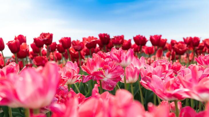 チューリップの花束を贈りたい!チューリップ花ギフトの理由とオススメ
