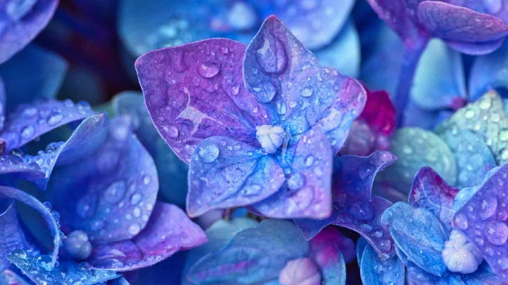 プレゼントに紫陽花(あじさい)の花が喜ばれる理由・オススメの渡し方